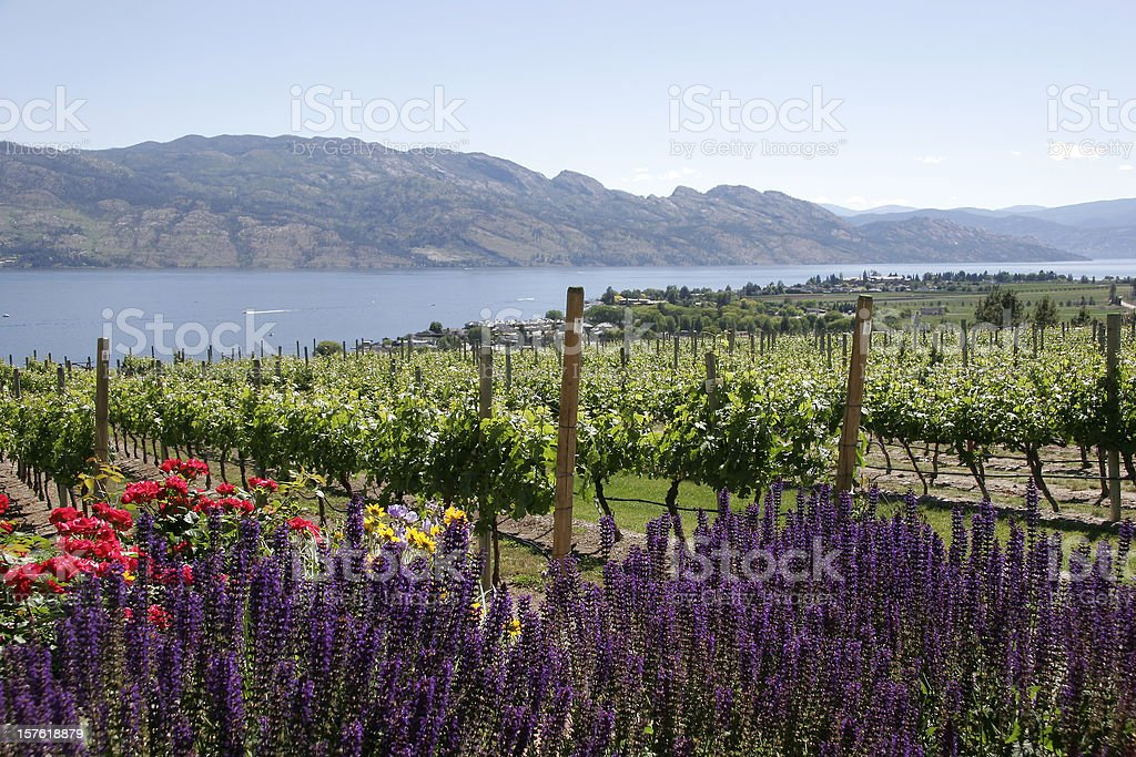Kelowna British Columbia Vineyards. stock photo