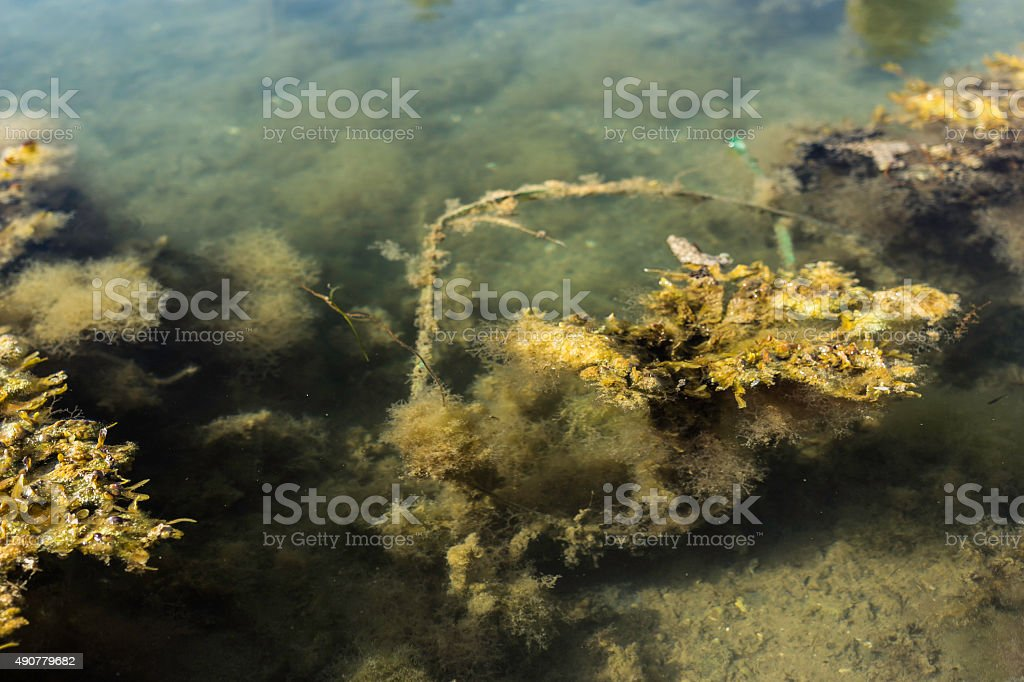 Kelp and algae floating in seawater royalty-free stock photo