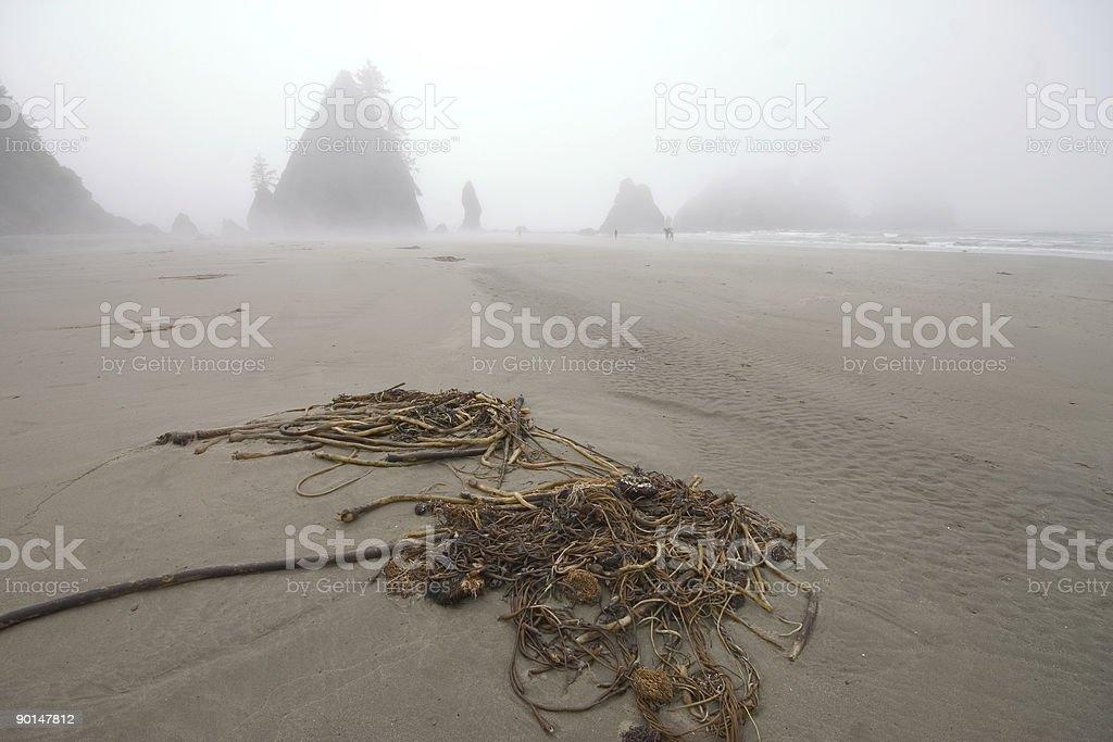 Kelp at Shi-Shi beach stock photo