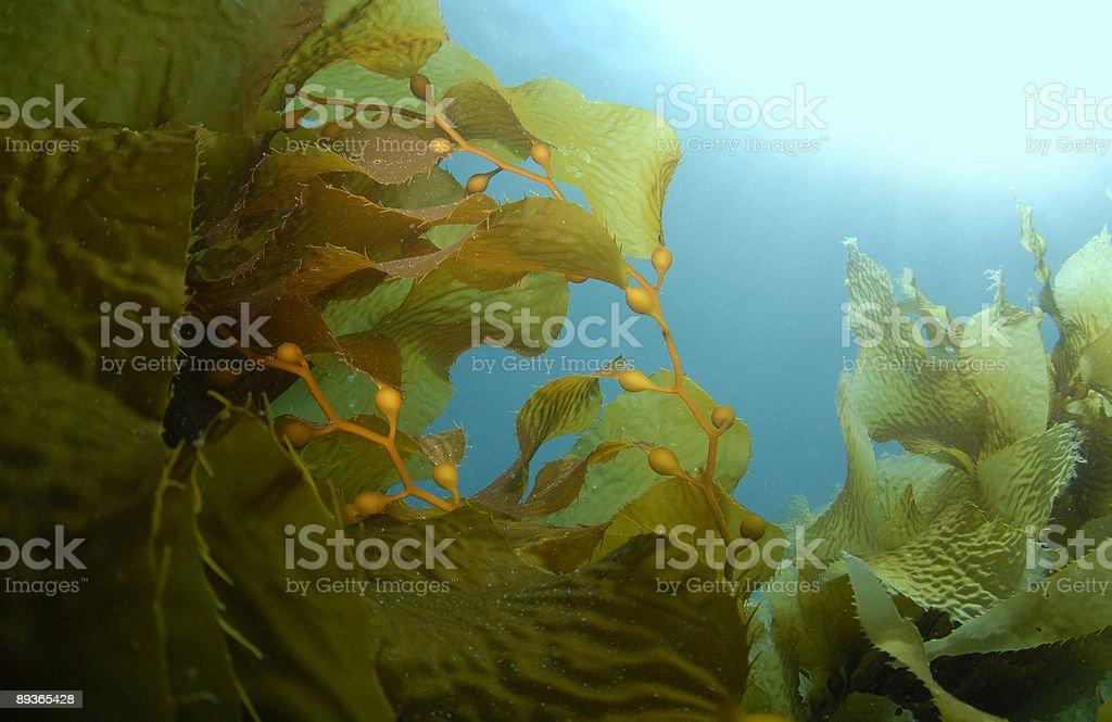 Kelp Background stock photo