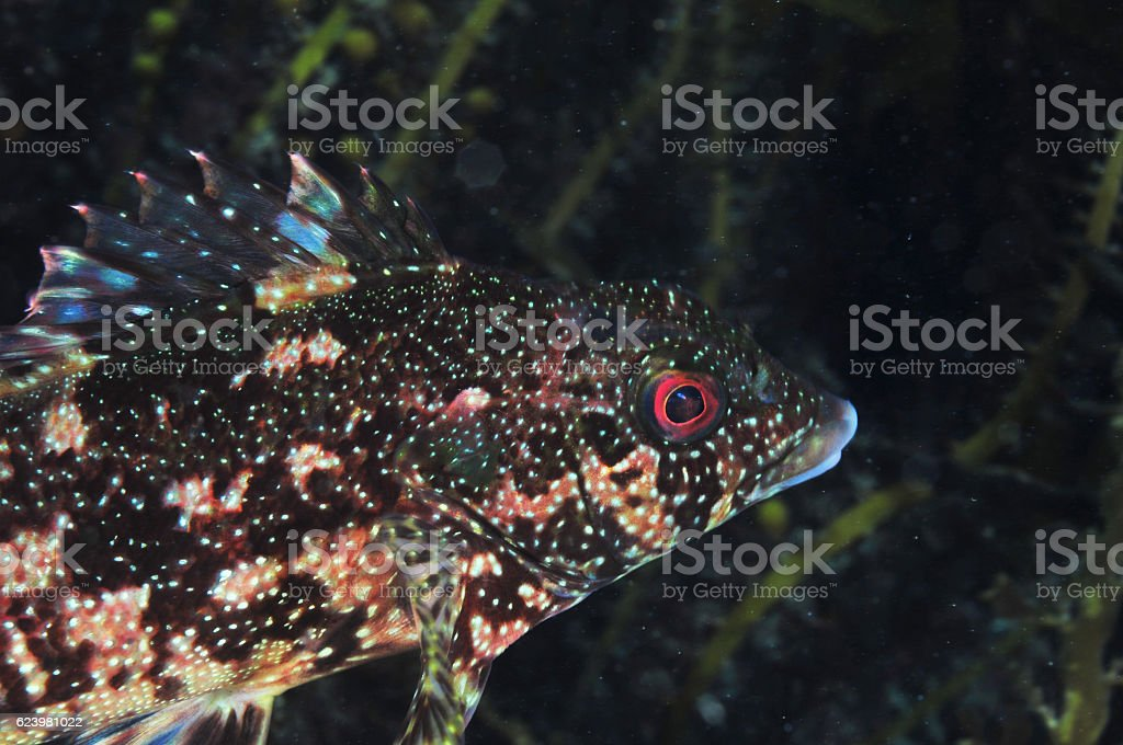 Kelp fish in dark stock photo