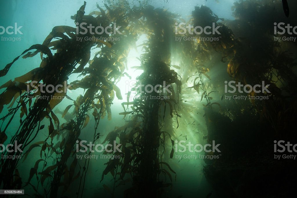 Kelp Forest and Sunlight stock photo