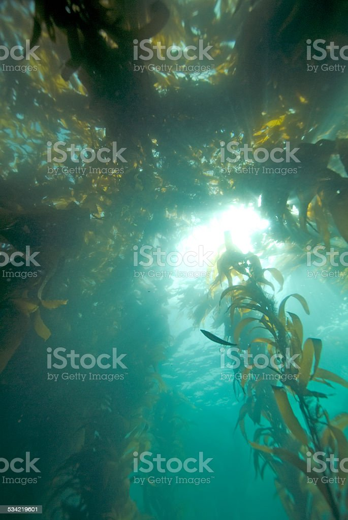 Kelp Forest in the Sun Light stock photo