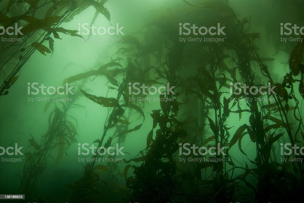 Kelp Forest Landscape royalty-free stock photo