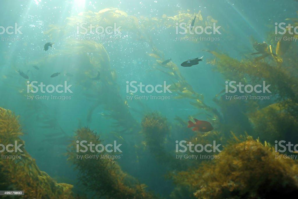 Kelp forest landscape stock photo