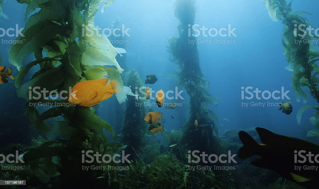 Kelp Forest royalty-free stock photo