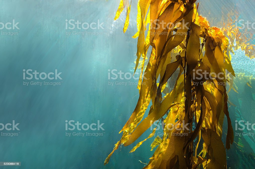 Kelp forest stock photo
