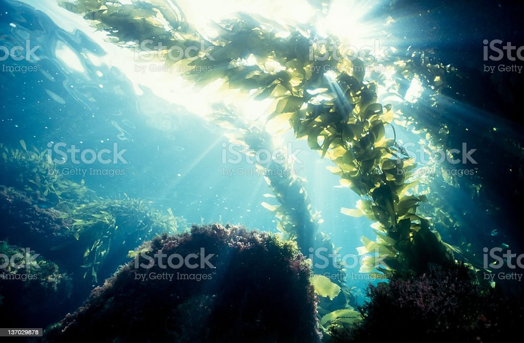 Kelp forest sunshine stock photo