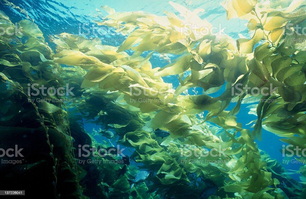 Kelp Forrest stock photo
