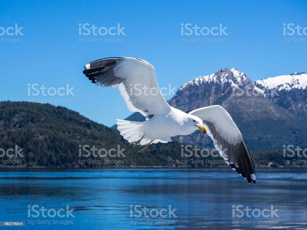 Kelp gull flying across Lago Nahuel Huapi, Andes in background stock photo