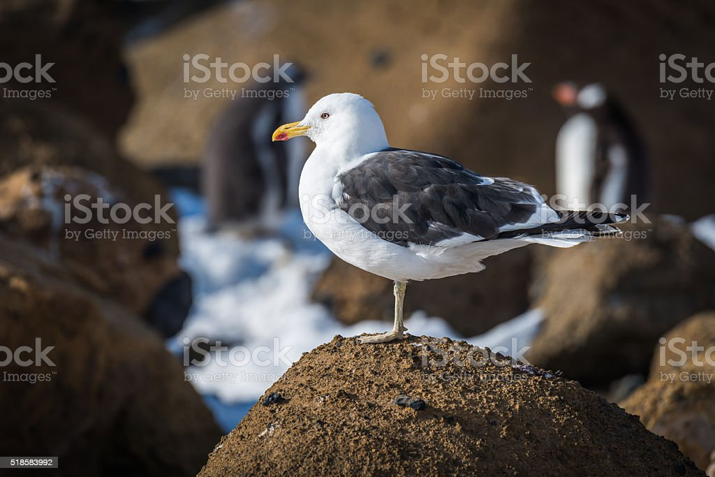 Kelp gull perched on rock in sunshine stock photo