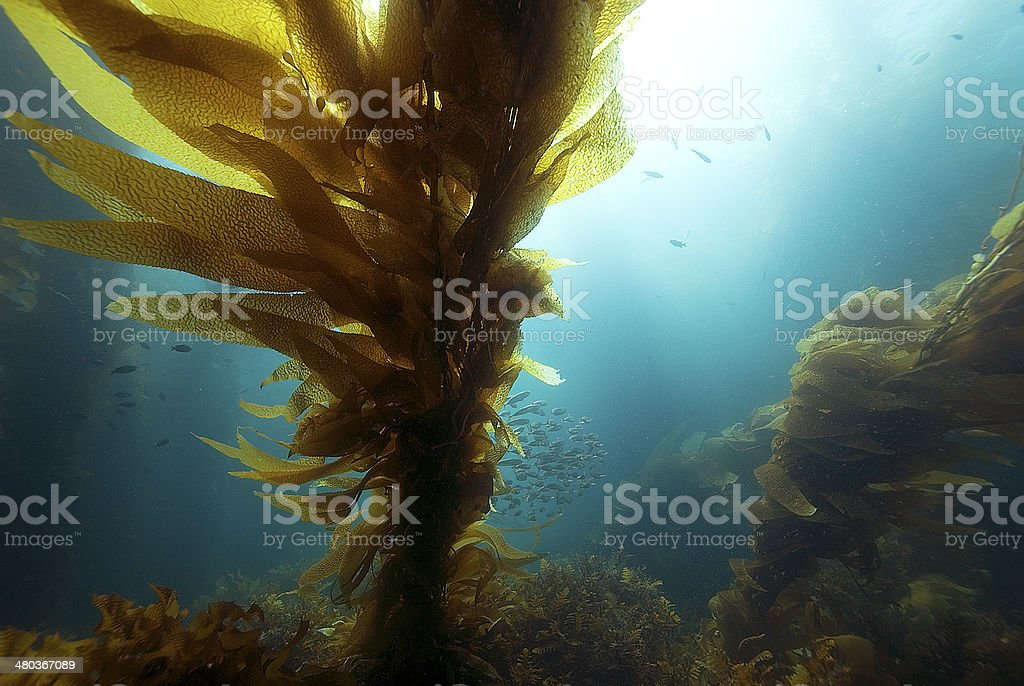Kelp in sunlight stock photo
