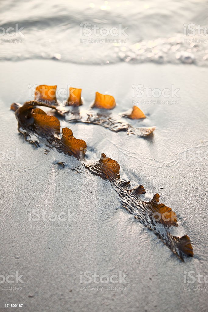 Kelp in the sand stock photo