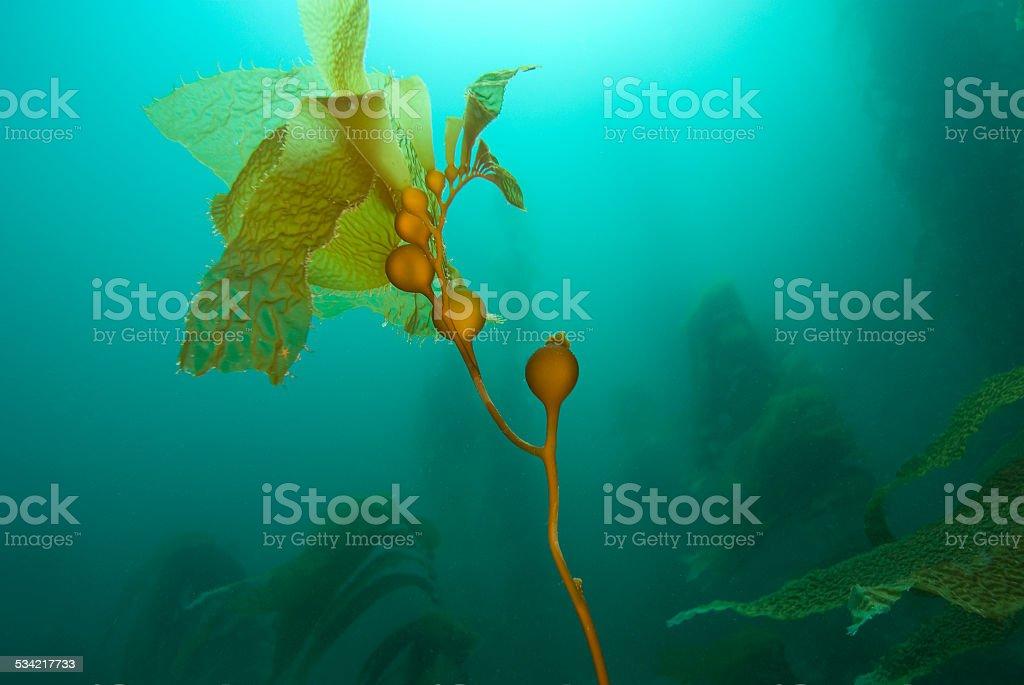Kelp in Underwater Garden stock photo