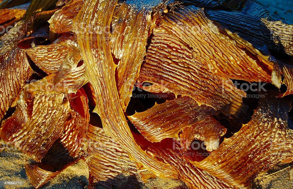 Kelp zbiór zdjęć royalty-free