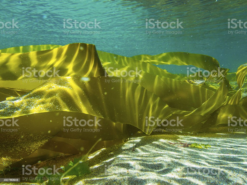 Kelp Tide Pool stock photo