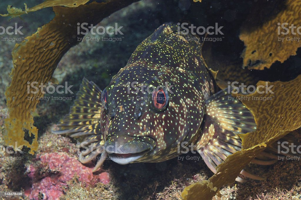Kelpfish face stock photo