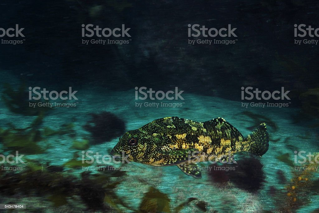 Kelpfish gliding in blur stock photo