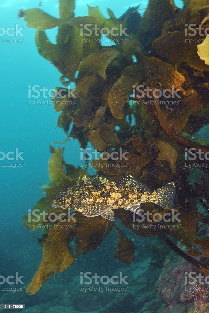 Kelpfish in from of kelp stock photo