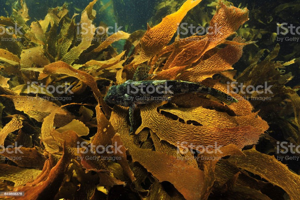 Kelpfish resting on kelp frond stock photo