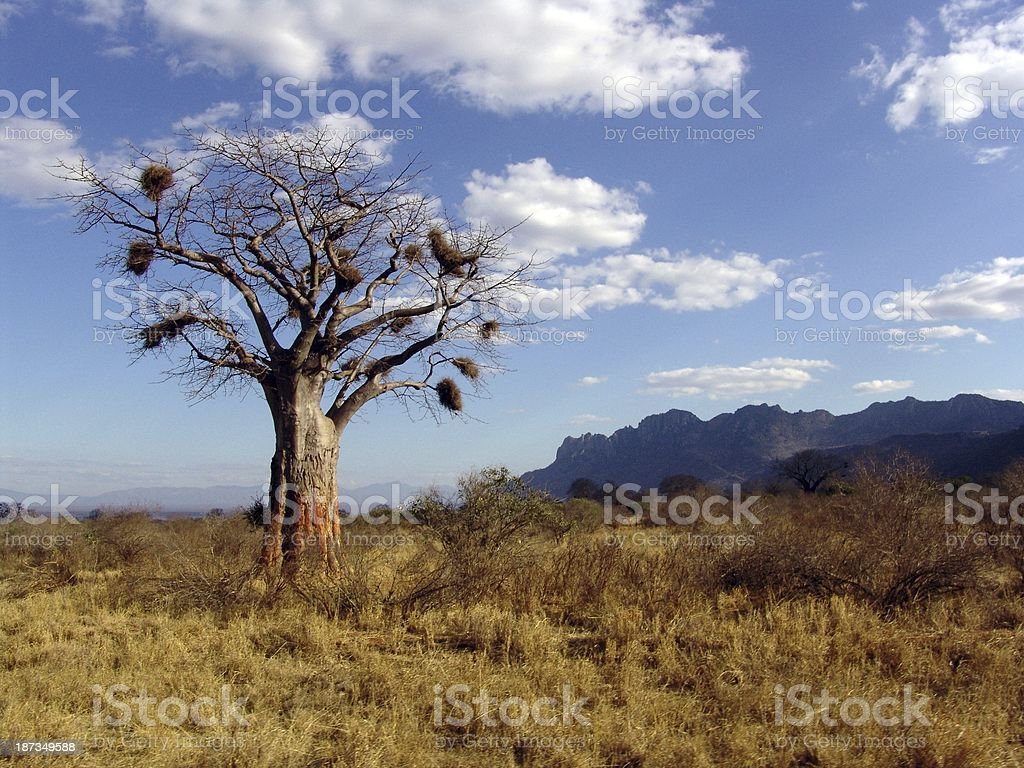 kenia bread tree monkey landscape safari wild elephant IV stock photo