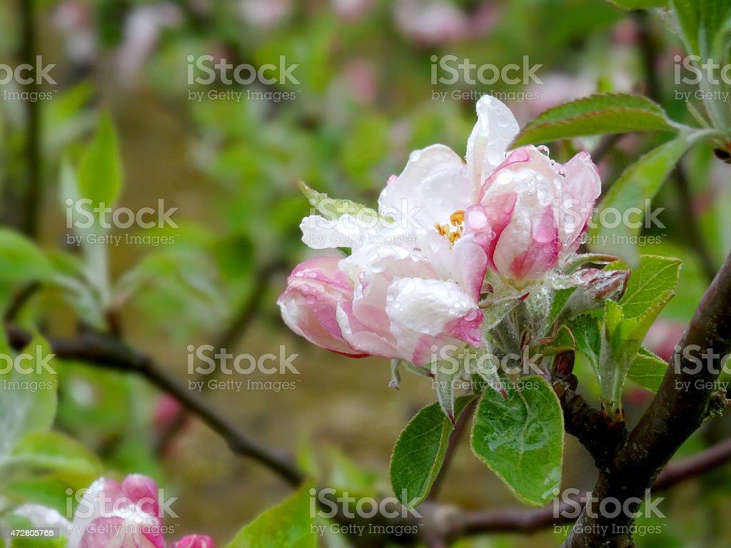 Kent Blossom stock photo