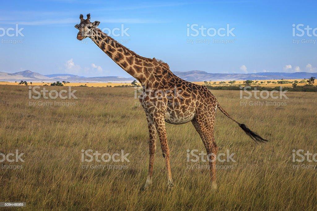Kenya, East Africa - Giraffe on the Masai Mara stock photo