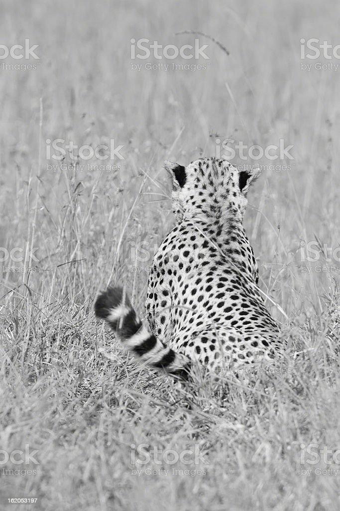 Kenya  Safari -Maasai Mara stock photo