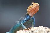 Kenyan Agama Lizard