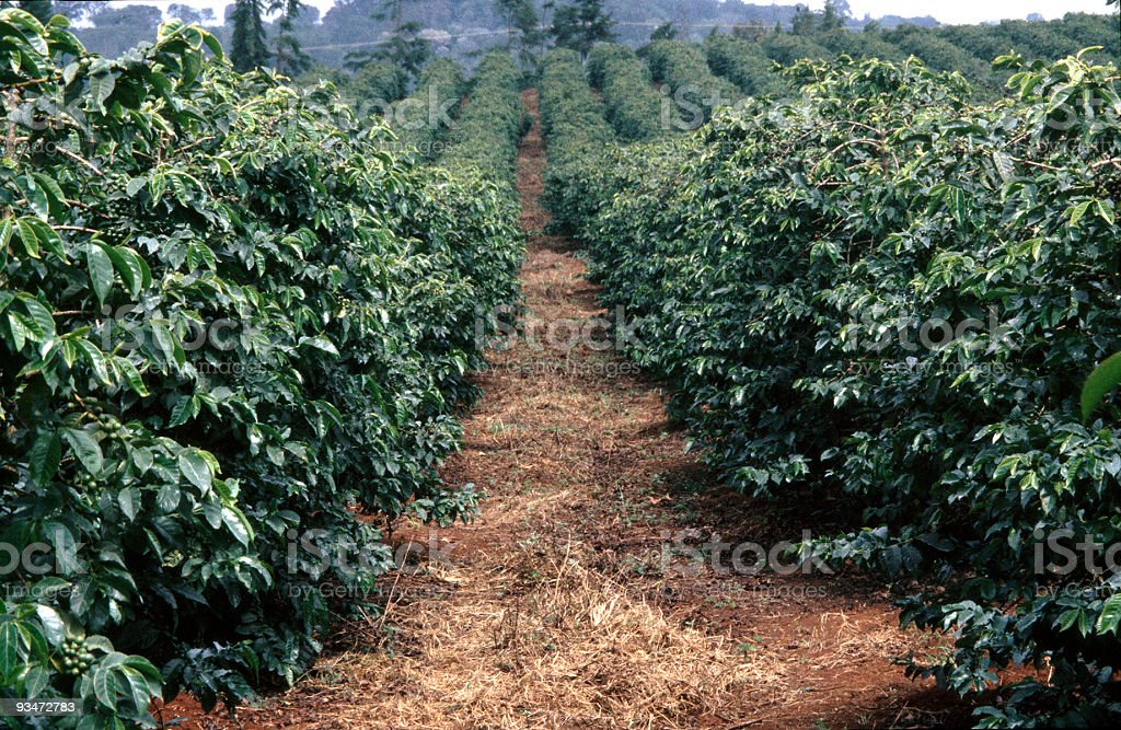 Kenyan coffee plantation stock photo