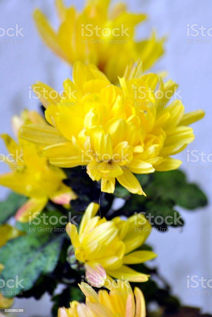 kerria yellow flower stock photo