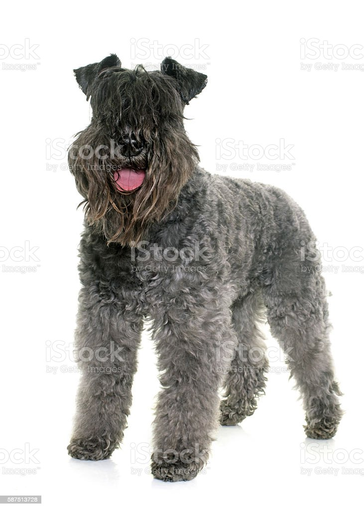 kerry blue terrier stock photo