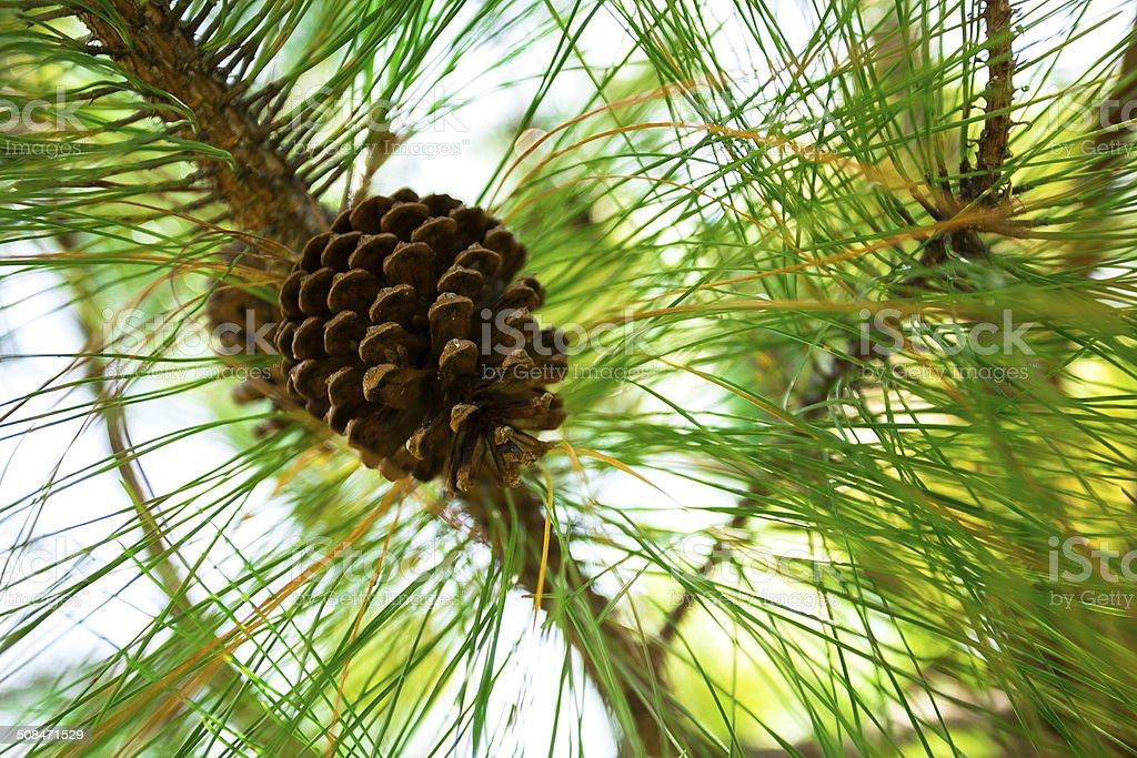 Kesiya pine cones. stock photo