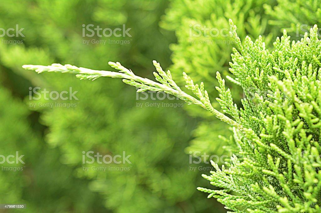 Kesiya pine stock photo