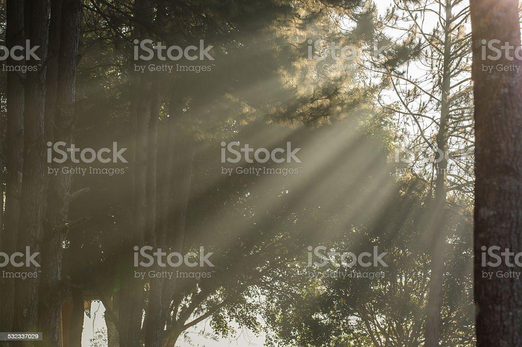 Kesiya pine sunbeam stock photo
