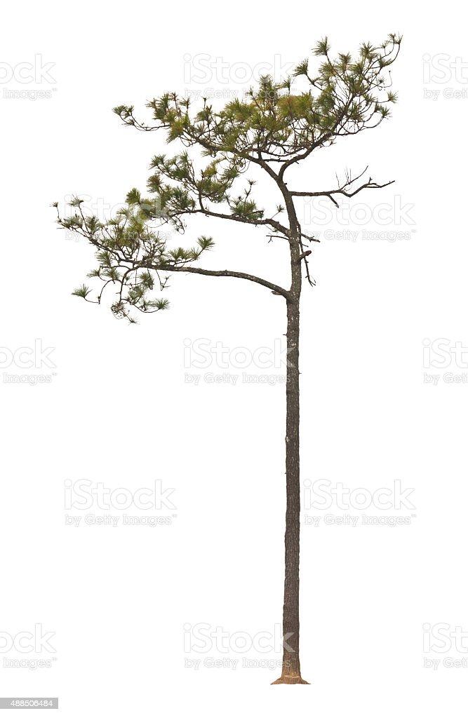 Kesiya pine tree stock photo