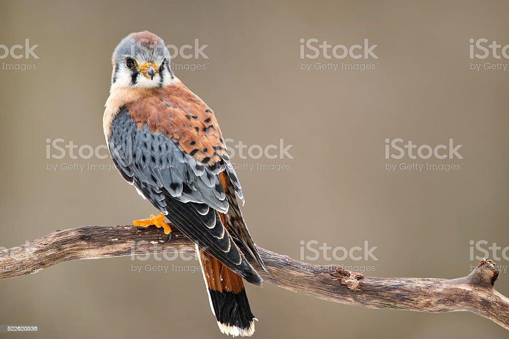 Kestrel Hawk stock photo