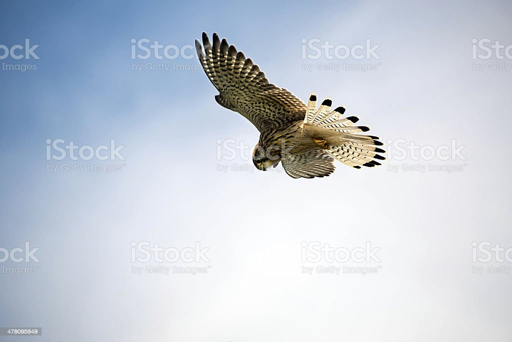Kestrel hovers above ready to swoop on its prey stock photo