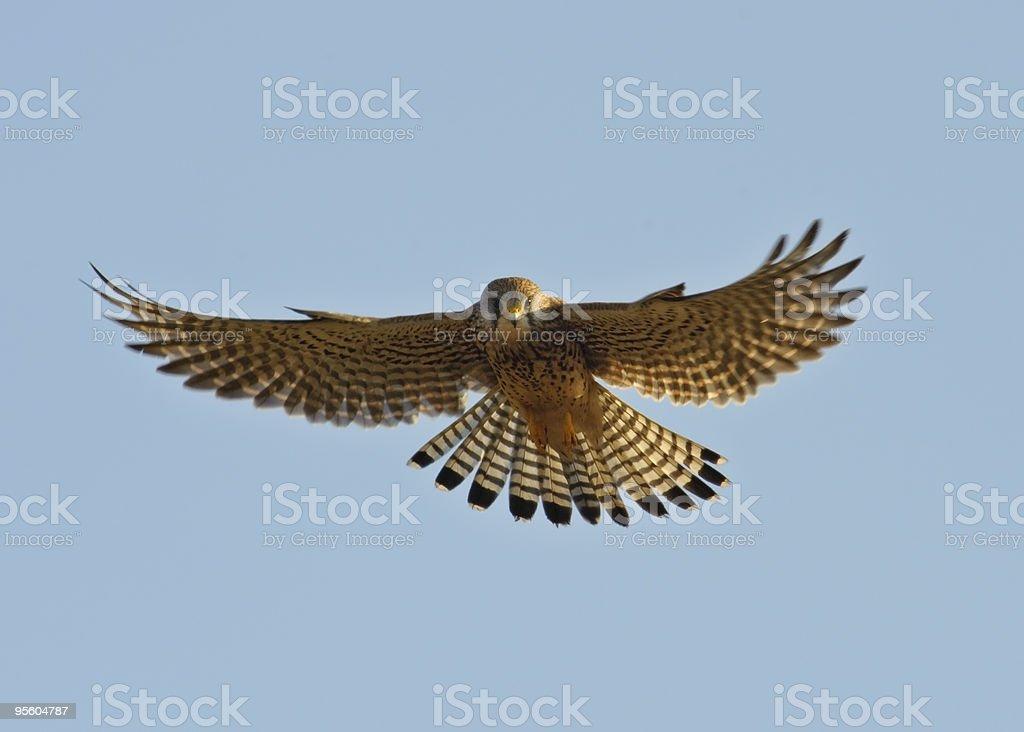 Kestrel hunting stock photo