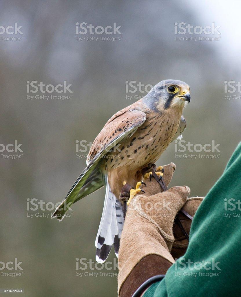 Kestrel On The Glove royalty-free stock photo