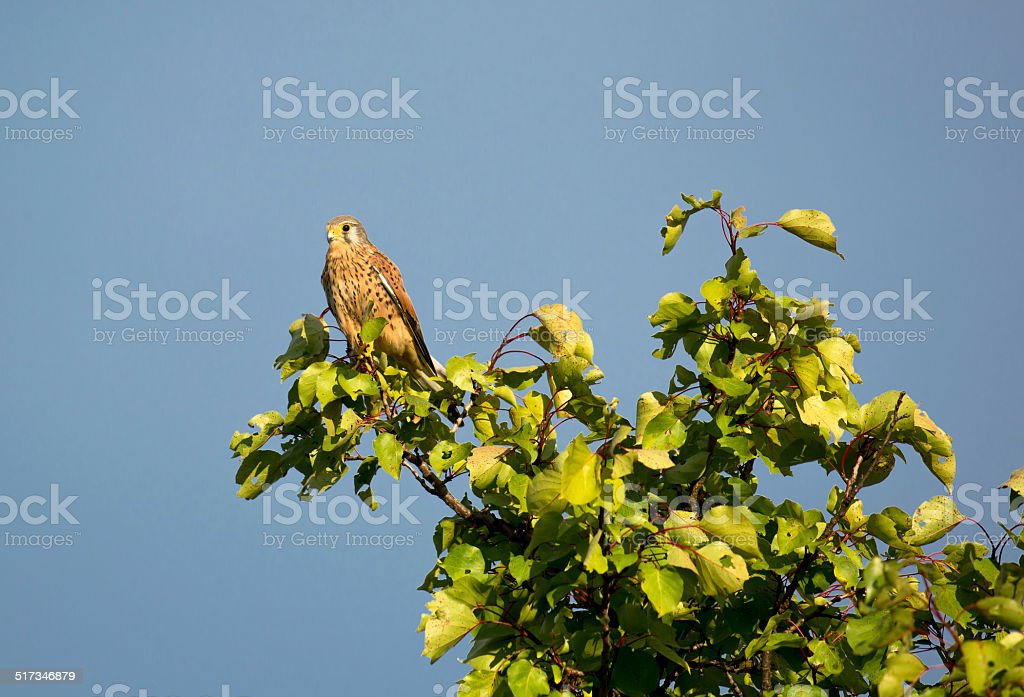 Kestrel Perched on a High Tree stock photo