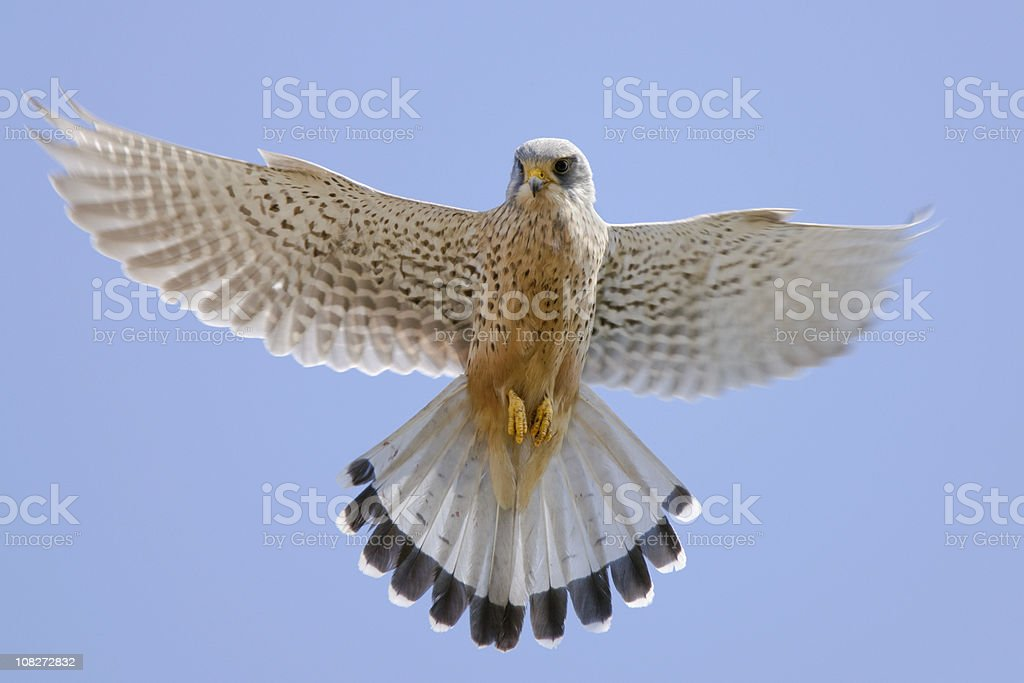 Kestrel (Falco tinnunculus) royalty-free stock photo