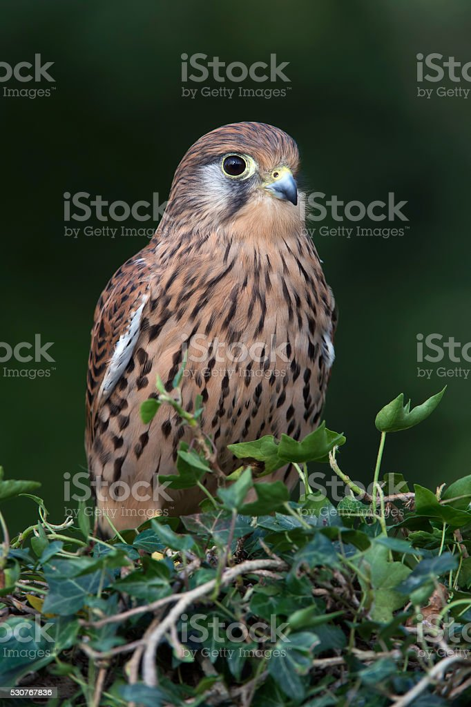Kestrel (Falco Tinnunculus) stock photo