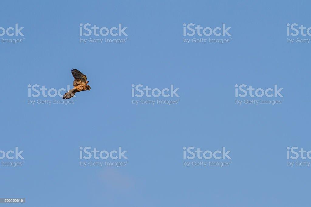 kestrel praying in the air stock photo