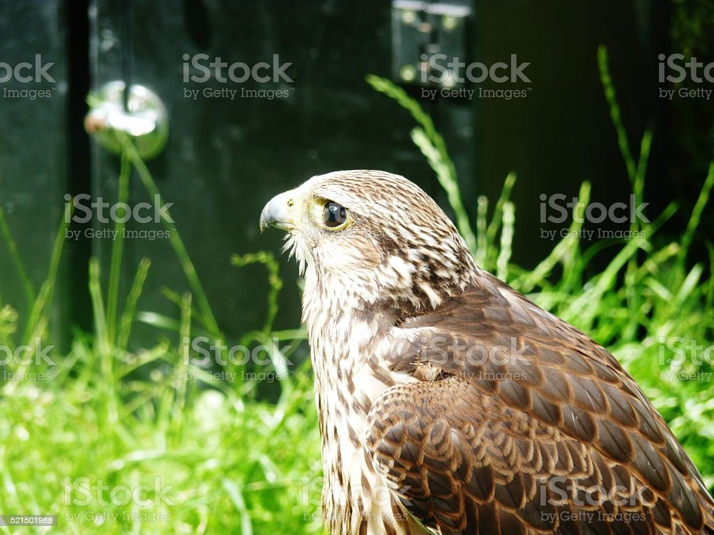 kestrel resting in the grass looking out stock photo