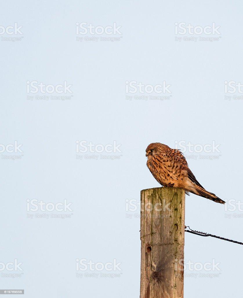 Kestrel sat on post looking for prey stock photo