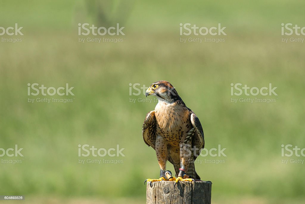 Kestrel sitting on a wooden pole stock photo