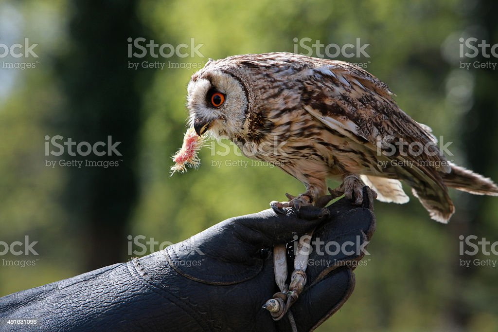 Kestrel sitting on falconers hand stock photo