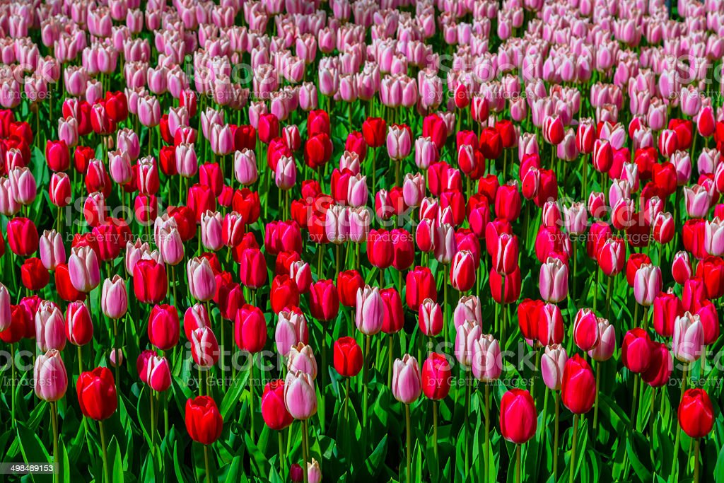 Keukenhof Tulip Texture stock photo