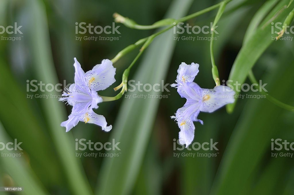 Kew Garden Bamboo Iris Blooms stock photo